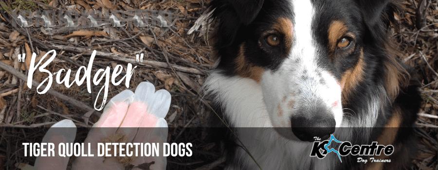 Badger the Tiger Quoll Detection Dog dog trainer Australia