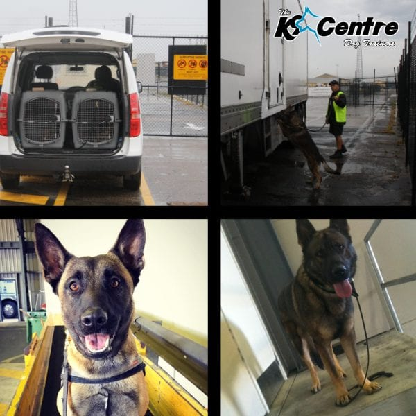 Explosives Detection Dogs working for our company in Australia