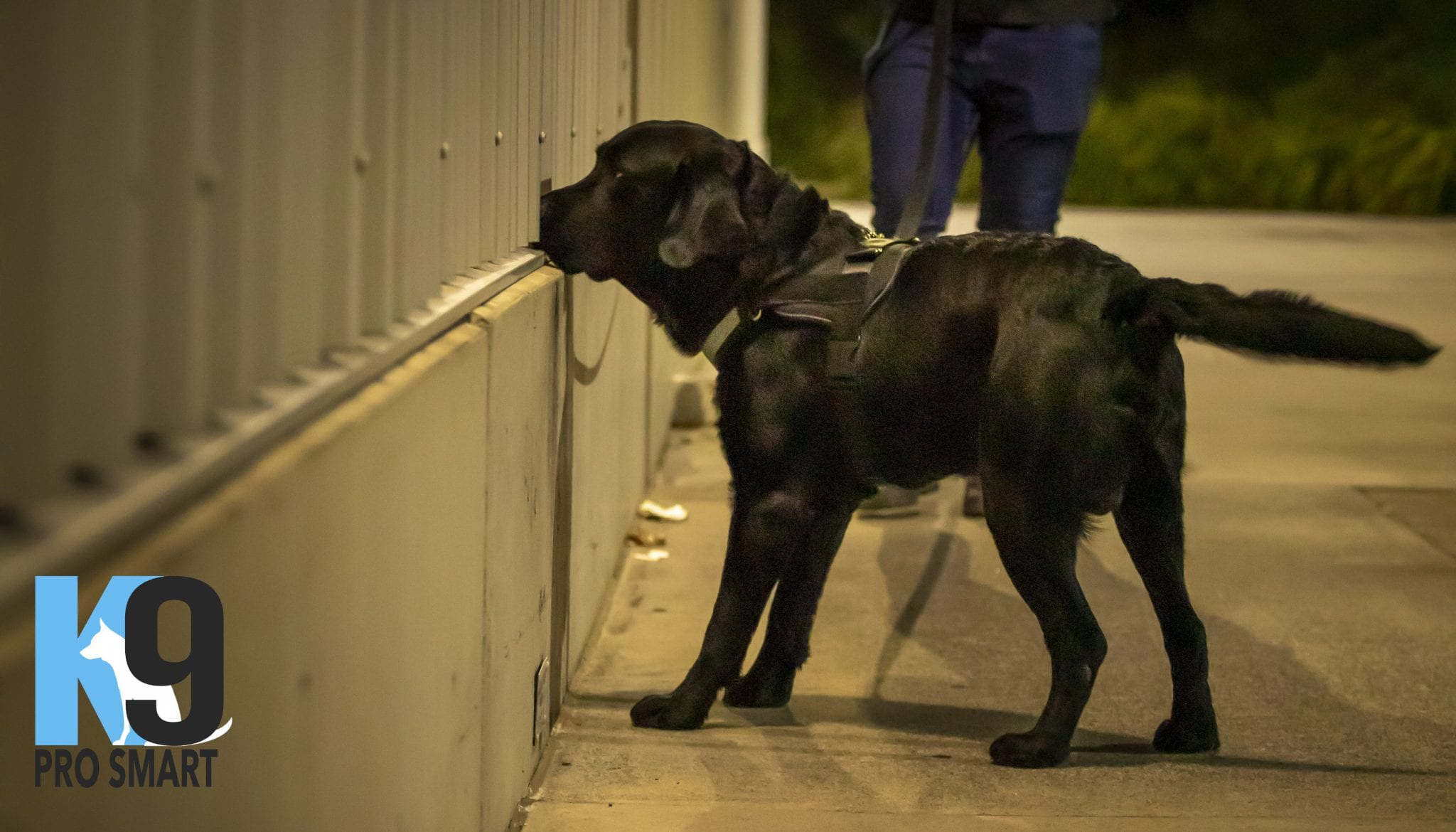 Sully Explosives Detection Dog 1 dog trainer Australia