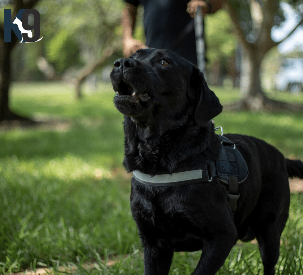 Detection Dog Sully Trained and Certified Detection Dog Australia
