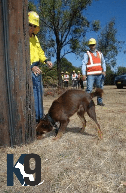 Termite Detection Dog used on Electricity poles NSW