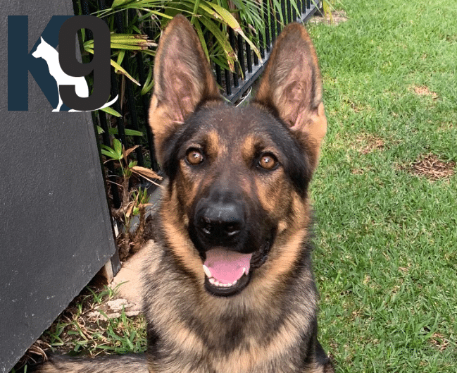 Trained Drug Detection Dog Max now working in South Australia