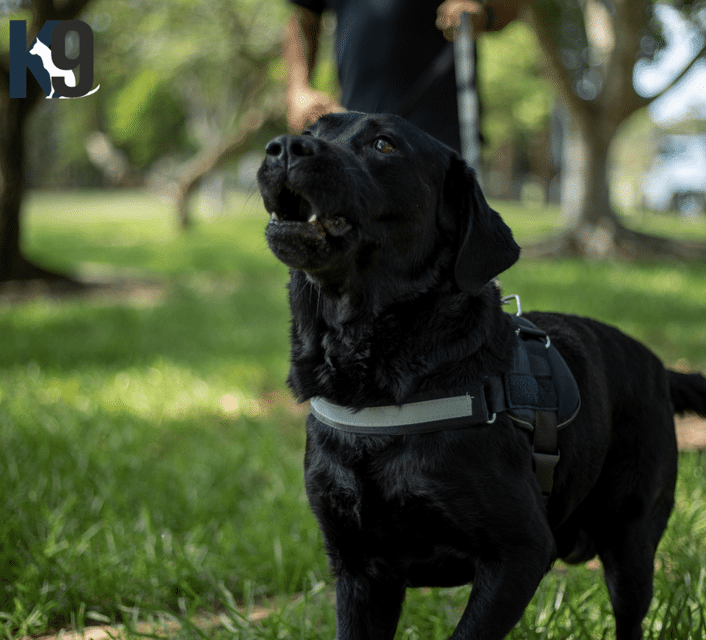 Bomb Detection Dog Sully Trained and Certified Detection Dog Australia